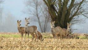 Wild roe deer herd, grazing in a field