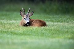 Wild roe deer(male) standing in a grass field Stock Image
