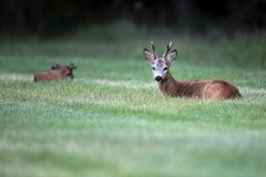 Wild roe deer& x28;male& x29; standing in a grass field Stock Photo
