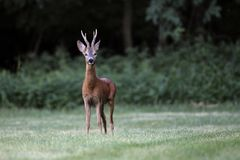 Wild roe deer& x28;male& x29; standing in a grass field Stock Images