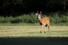 Wild roe deer(male) walk in a grass field Stock Images