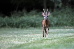 Wild roe deer& x28;male& x29; walk in a grass field Stock Photo