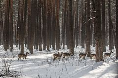 Wild roe deer in the snow-covered winter forest, reserve Kyiv region, Ukraine Royalty Free Stock Photos