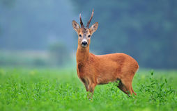 Wild roe deer Royalty Free Stock Photography