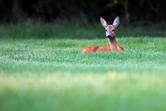 Wild roe deer standing in a grass field Royalty Free Stock Photos