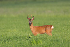 Wild Roe Deer Stock Photo