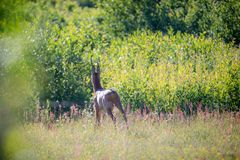 Wild roe deer in summer field near forest royalty free stock photos