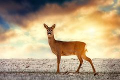 Wild roe deer, sunset sky royalty free stock photos