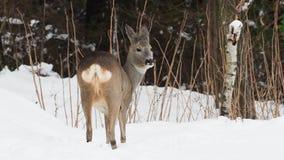 Wild roe deer in winter nature. Capreolus capreolus