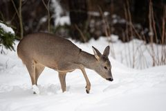 Wild roe deer in winter nature. royalty free stock photos