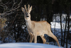 Wild roe deer in winter Royalty Free Stock Photos