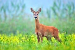 Wild roe deer Stock Images