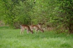 Wild roe deers. Several roe deer in a meadow in natural environment. Wildlife in europe Royalty Free Stock Photo