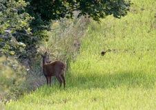 Wild roe hiding in the bush in  Jura, France Stock Photo