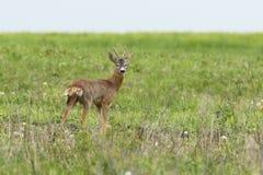 Wild roebuck looking at camera Royalty Free Stock Photos