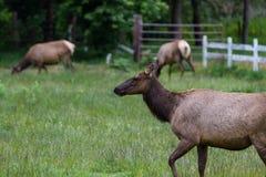 Wild roosevelt elk Royalty Free Stock Photos