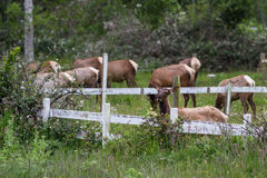 Wild roosevelt elk Royalty Free Stock Photography