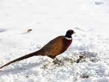 Wild Rooster call. This a beautiful rooster Pheasant in a yard in the winter searching for food Royalty Free Stock Image