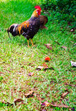 Wild Rooster. Wild chickens on the roadside in Kauai, Hawaii, USA Royalty Free Stock Images