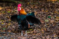Wild Rooster. Close up of a wild rooster foraging in the forest royalty free stock image