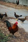 Wild rooster in Key West, Florida Royalty Free Stock Photo