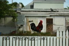 Wild rooster in Key West, Florida Stock Image