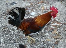 Wild rooster in Key West, Florida Royalty Free Stock Photos