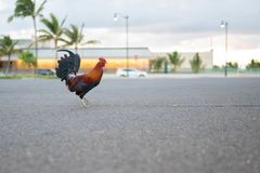 Wild rooster in the middle of the road royalty free stock images