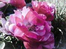 Wild rosa färgblomma Arkivbild