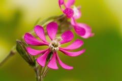 Wild rosa färgblomma Royaltyfria Foton