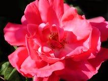 Rose Wild Red Garden  Stock Photos