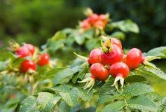 Wild rose. Fruits of rose hips (rosa canina Stock Photo