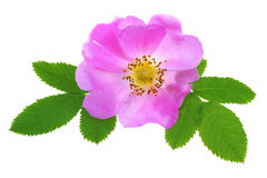 Wild Rose Stock Photography