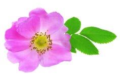 Free Wild Rose Stock Photo - 14930430