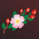 Wild rose. With red hips stock illustration