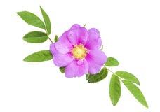 Free Wild Rose Stock Image - 28073731