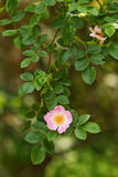 Wild rose Stock Photography
