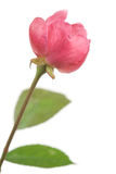 Wild rose Stock Photo
