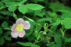 Wild Rose. Alaskan Wild Rose with open flower and buds. Also known as the Prickley Rose Stock Photography