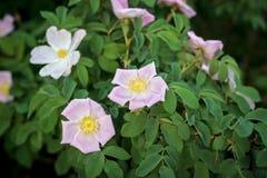 Free Wild Rose. Stock Photos - 92251193