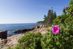 Wild rose in Acadia National Park Stock Image