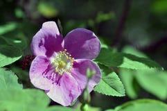 Wild Rose. In Alaskan forest Stock Photos