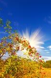 Wild Rose And Fun Sun By Autumn. Stock Photos