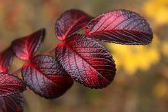 Wild rose autumn leaves Stock Photo
