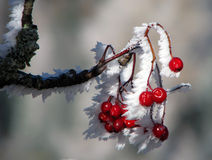 Wild rose berries covered with snow and icicles Royalty Free Stock Image