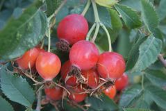Wild rose berries Stock Images