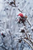 Wild rose berry covered by snow. Durimg cloudy february day Royalty Free Stock Photography