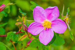 Wild Rose. A wild rose in bloom in Alaska Royalty Free Stock Images