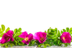 Wild Rose blooming Stock Image