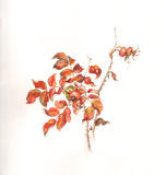 Wild rose branch with hips watercolor painting royalty free illustration